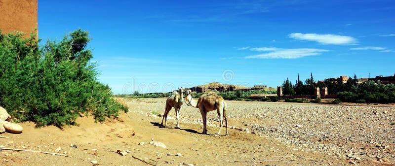 Dromadaires dans le dessert au Maroc, Afrique photos stock