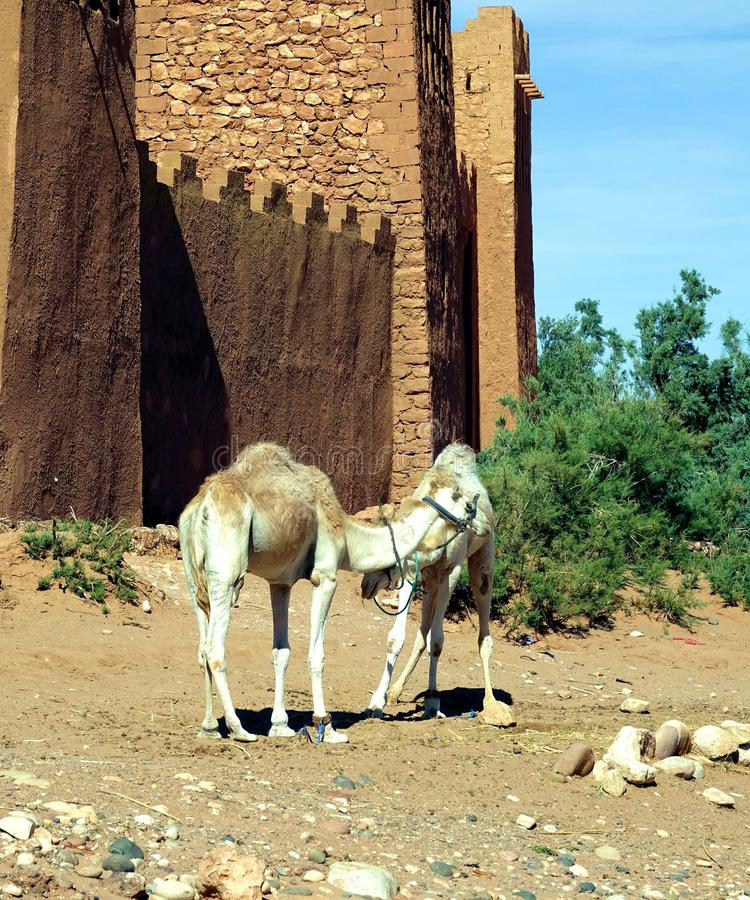 Dromadaires en air Benhaddou, Maroc, Afrique images libres de droits