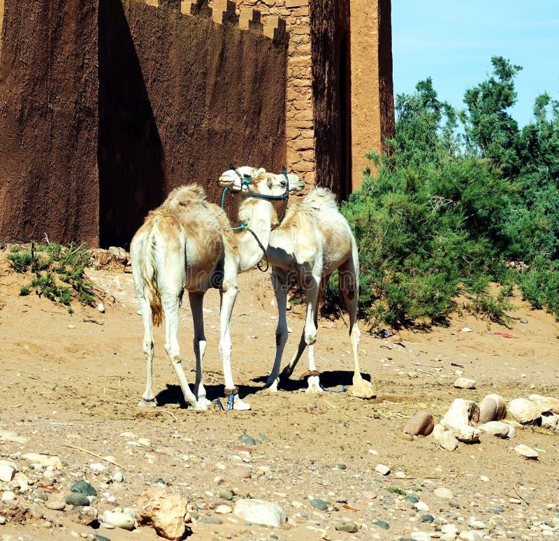 Dromadaires en Ait Benhaddou, Maroc, Afrique image stock