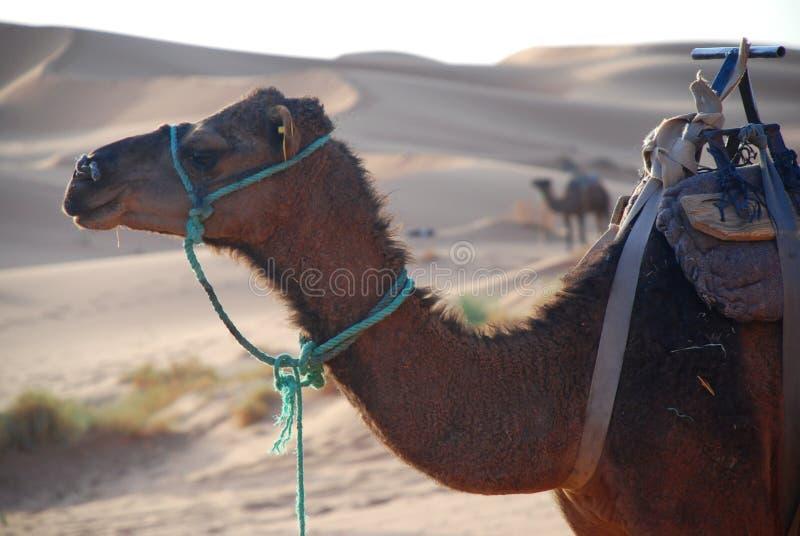 Dromader. Erg Chebbi, Sahara, Maroko fotografia royalty free