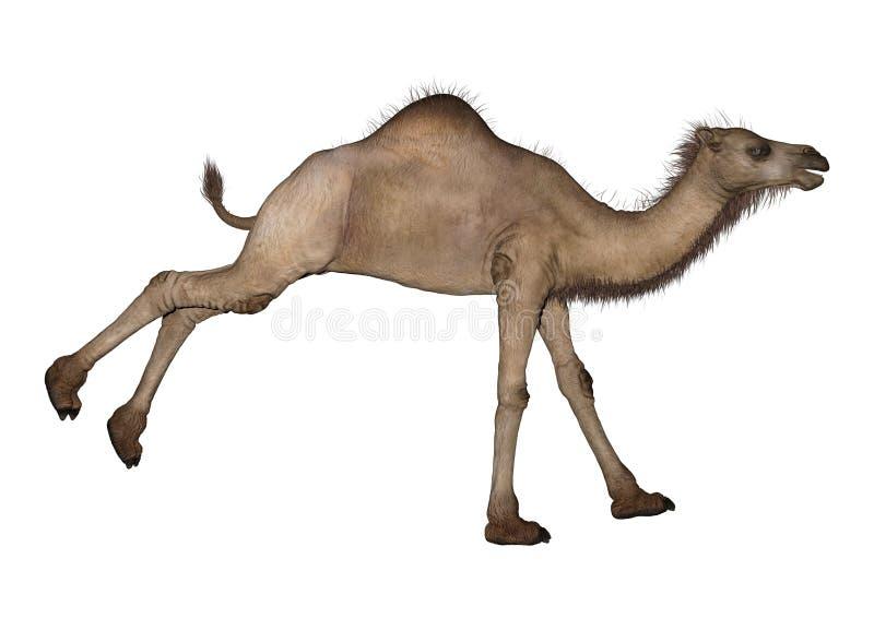Dromader lub Arabski wielbłąd fotografia stock