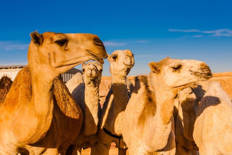 Dromader?w wielb??dy w wielb??dzie wprowadza? na rynek blisko Riyadh, Arabia Saudyjska zdjęcie stock