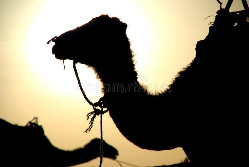 Dromadera profil. Erg Chebbi, Sahara, Maroko zdjęcia royalty free