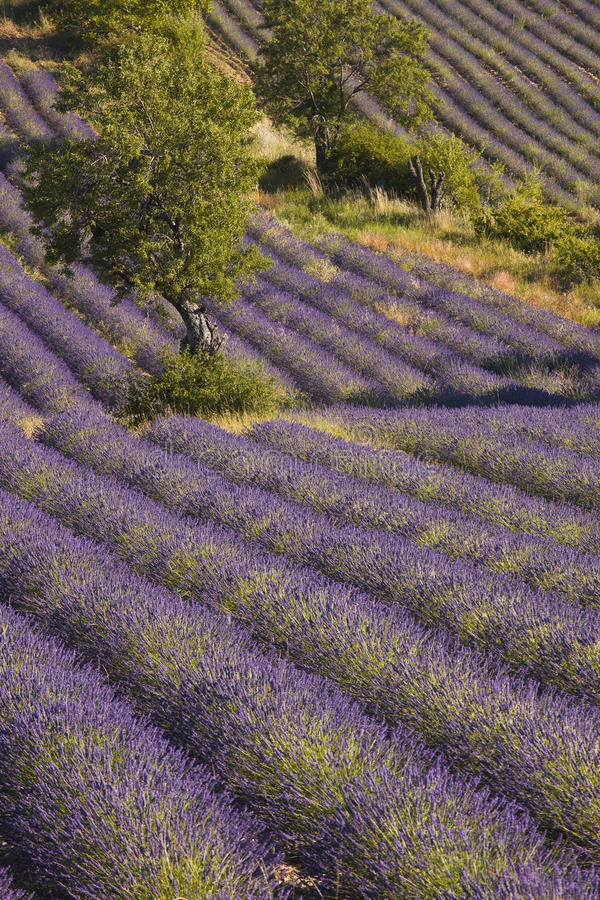 Drome De Lavende fotografia royalty free