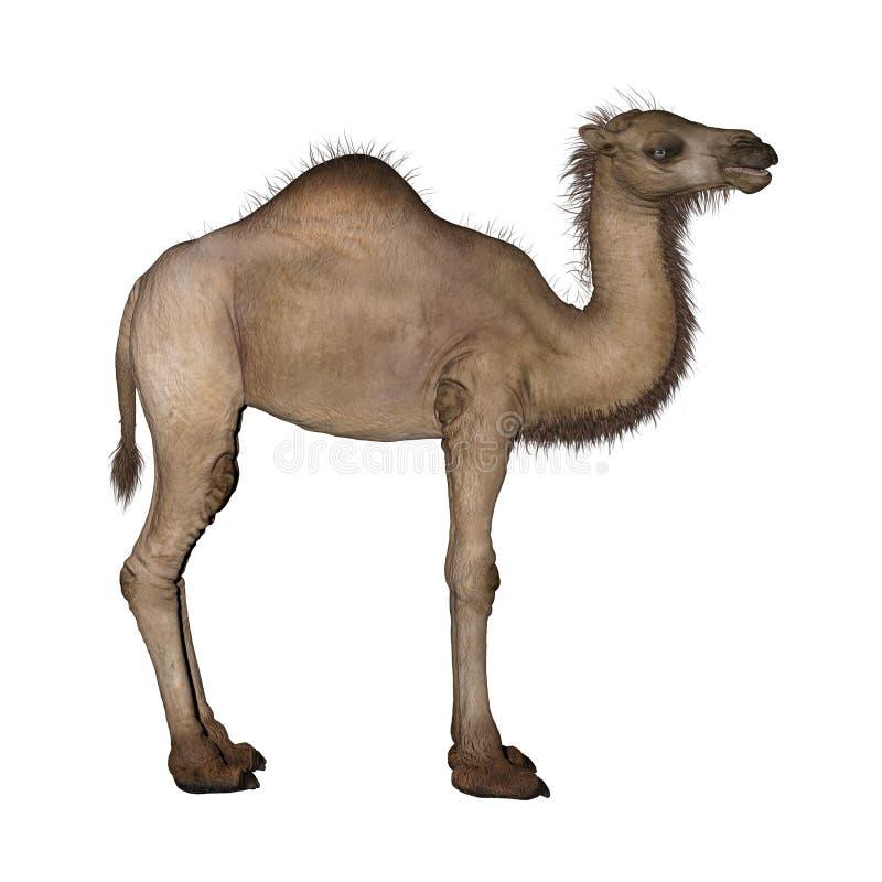 Dromedar eller arabisk kamel royaltyfri illustrationer