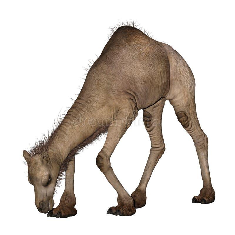 Dromedar eller arabisk kamel stock illustrationer