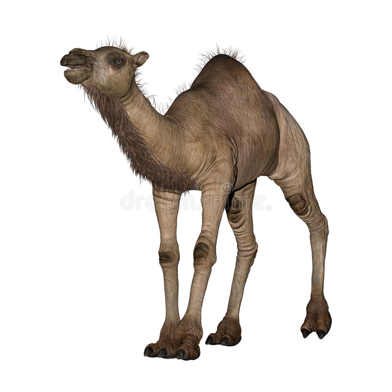 Dromedar eller arabisk kamel vektor illustrationer