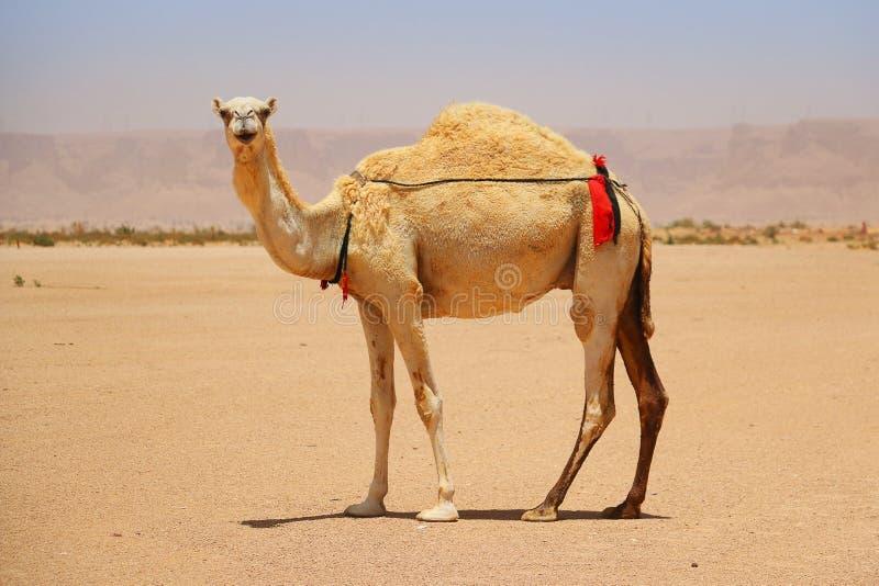 Dromedar eller arabisk kamel i öknen royaltyfri foto
