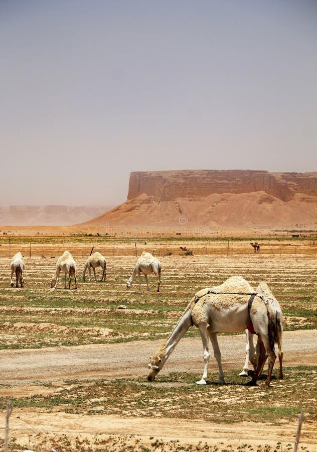 Dromedar eller flock för arabiska kamel som äter i öknen arkivfoto