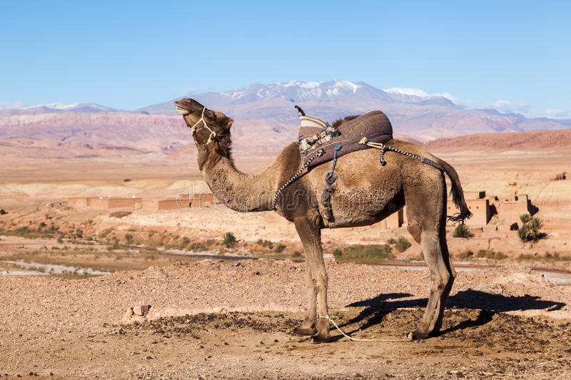 Download Dromedar In The High Atlas Of Morocco Stock Photo - Image: 36913938