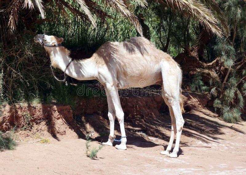 Dromedar i luft Benhaddou, Marocko, Afrika arkivfoto