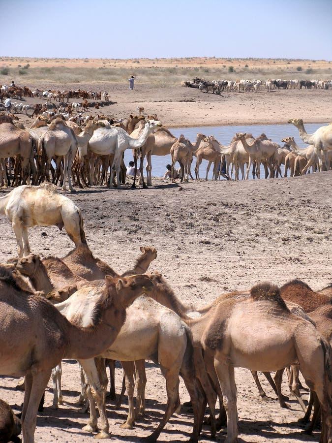 Dromedar i Sudan, Afrika royaltyfria foton