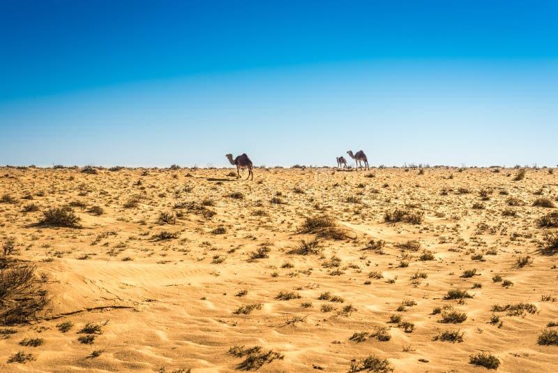 Dromedar i Tunisien royaltyfria foton