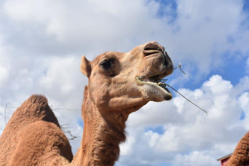 Dromedar-Kamel-Nahaufnahme-Kauen stockfotografie