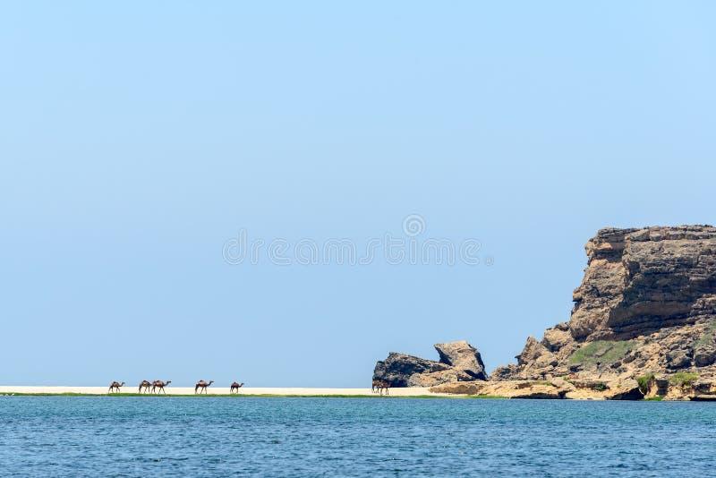 Dromedar på Wadi Darbat, Taqah (Oman) royaltyfri fotografi