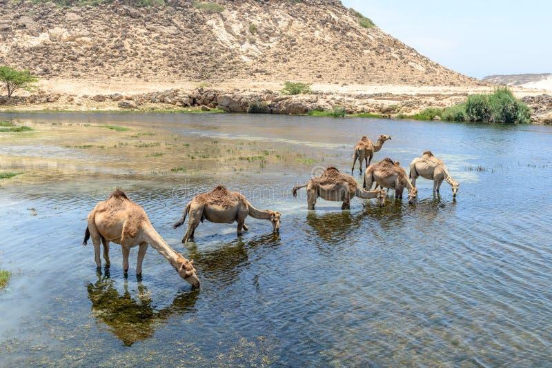 Dromedar på Wadi Darbat, Taqah (Oman) arkivbilder