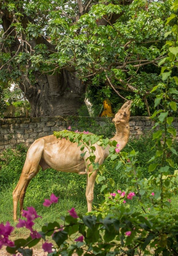 Dromedar som matar på Baobabsidor royaltyfria bilder
