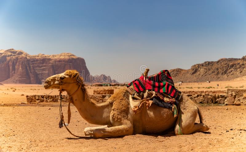 Dromedar Wadi Rum arkivbild