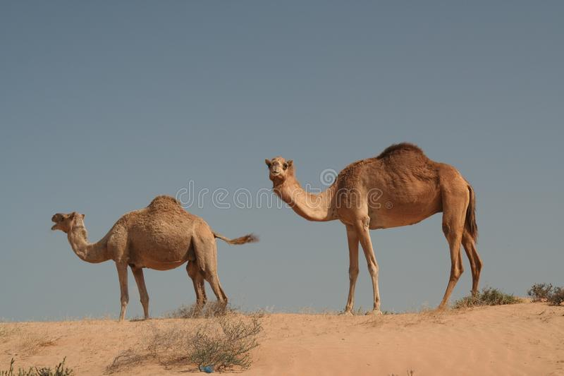 Dromedar zwei in Oman-Wüste lizenzfreie stockfotos