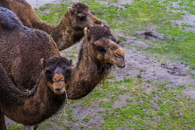 Dromedarhuvud i closeup som tuggar på något hö, arabiska kamel från den afrikanska öknen royaltyfri bild