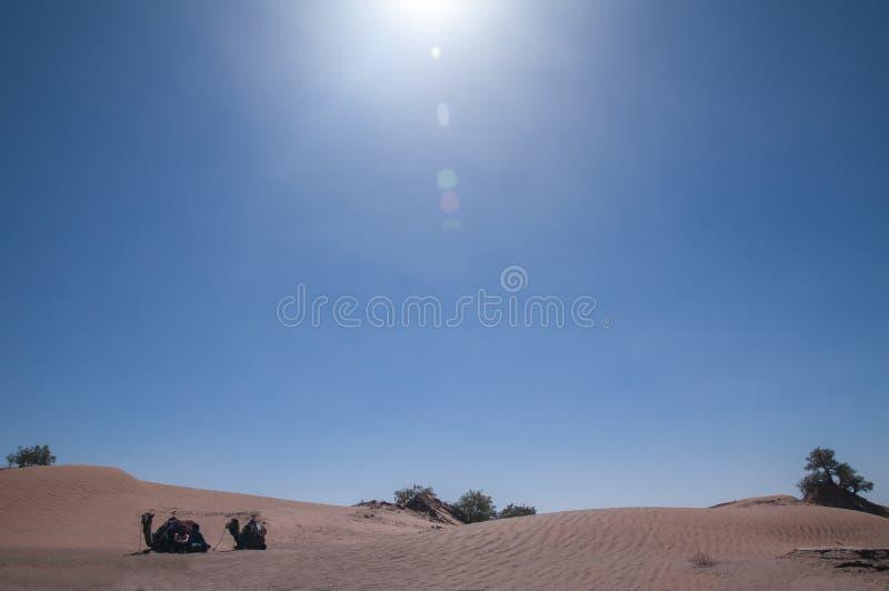 Dromedaries που βάζει κάτω από τον ήλιο ερήμων στοκ φωτογραφίες