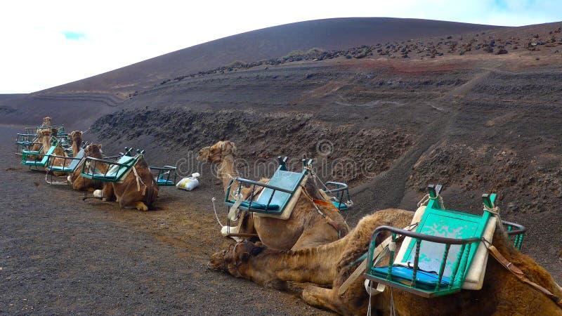 Dromedaries camelus dromedarius waiting for tourists in Timanfaya National Park, Lanzarote royalty free stock photography