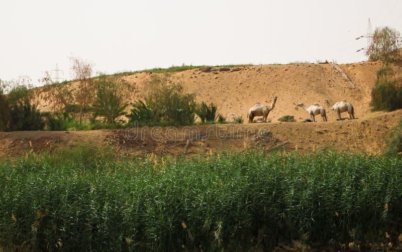 Dromedaries in the Nile riverside stock image
