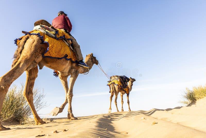 Dromedario con il turista nel deserto di Thar immagine stock