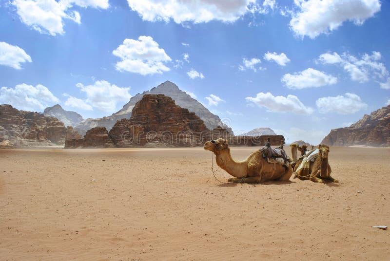 Dromedarios en desierto del ron del lecho de un río seco fotografía de archivo
