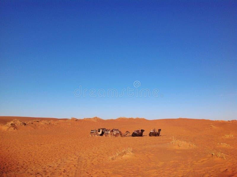 Dromedarios que descansan en el desierto del Sáhara en Marruecos fotos de archivo
