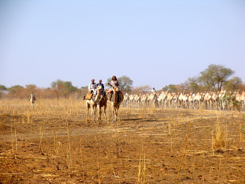 Dromedarissen in de Soedan, Afrika stock foto's