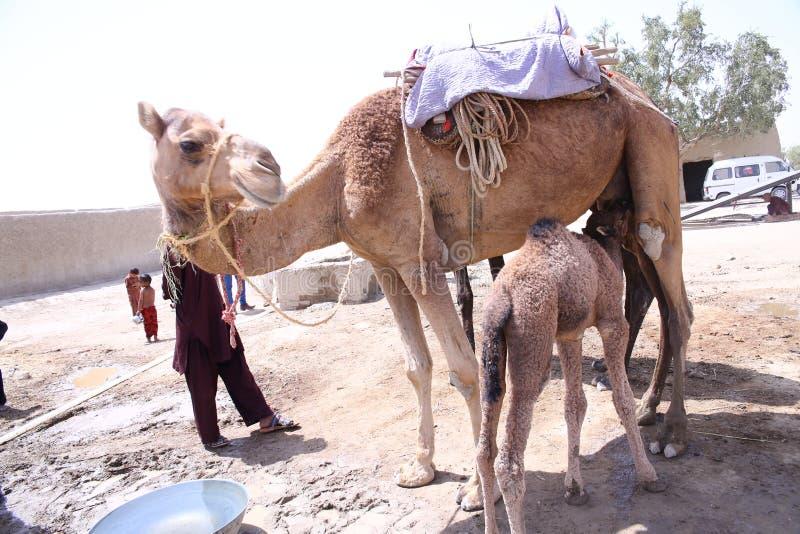Dromedarius simple domestiqué de Camelus de chameau de bosse avec le veau photos libres de droits