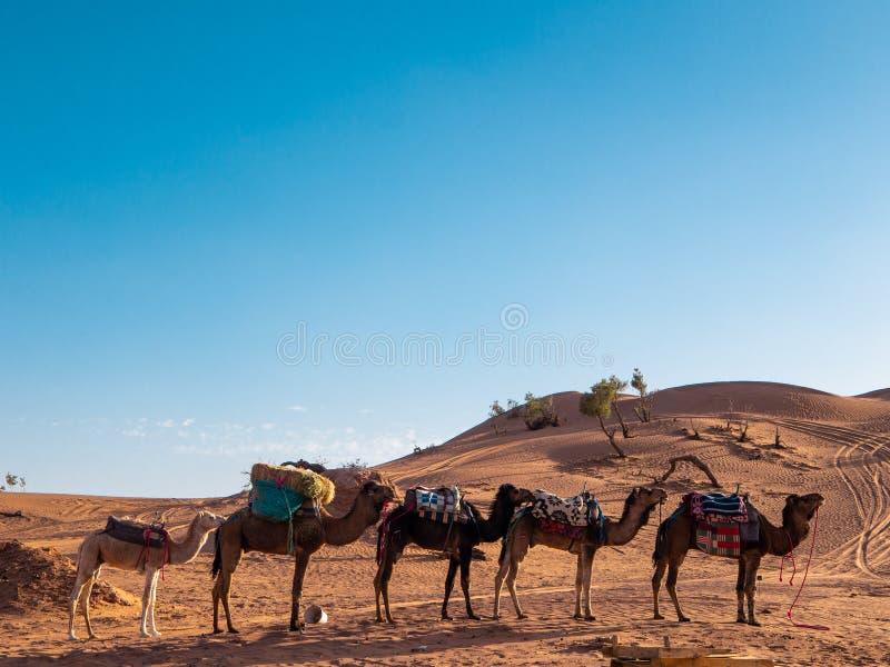 Dromedarkamel som vilar i den Sahara öknen, Marocko arkivfoto