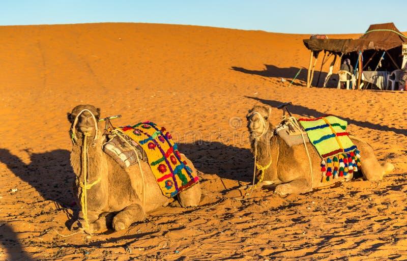 Dromedarkamel som vilar på ergChebbi dyn av den Sahara öknen Merzouga Marocko royaltyfria foton