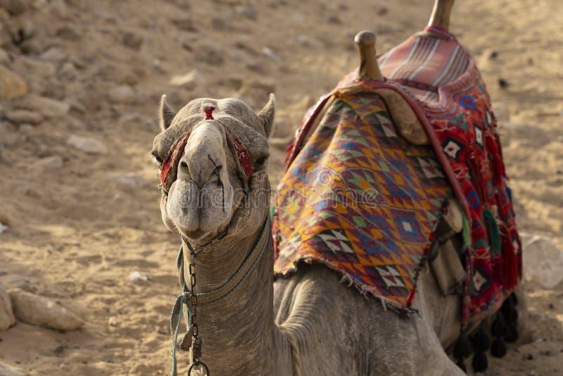 Dromedary aus der östlichen Wüste lizenzfreie stockbilder