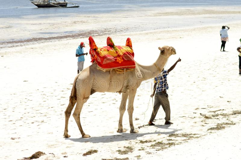 Download Dromedary on the beach editorial photo. Image of summer - 83715271