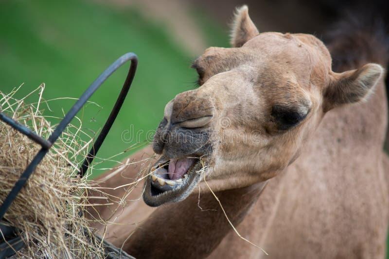 Camel. Dromedary camel is eating hay royalty free stock image