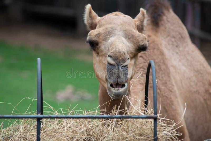 Camel. Dromedary camel is eating hay stock photography