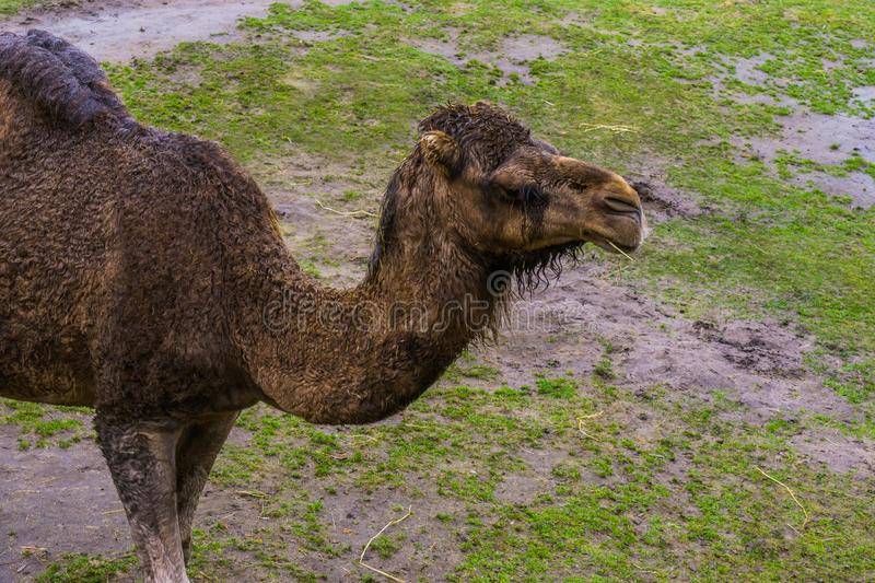 Dromedary head in closeup, Arabian camel chewing on some hay royalty free stock photography