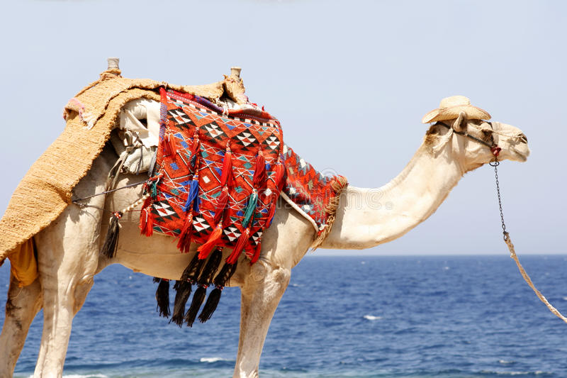 Download Dromedary by the red sea stock image. Image of egypt - 10551311