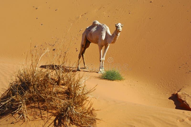 Dromedary solitário no deserto imagens de stock royalty free