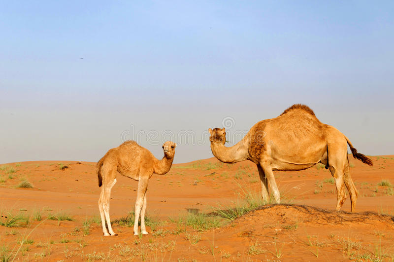 Dromedary und Kalb in der Wüste lizenzfreies stockbild