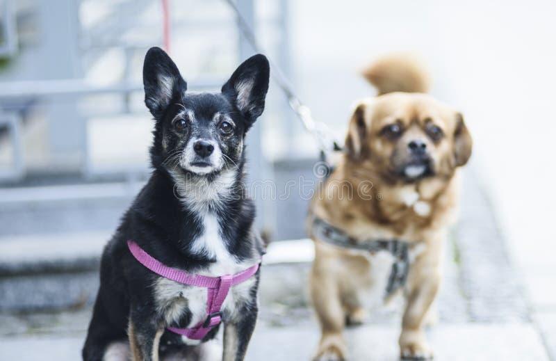 Dromen van twee honden stock afbeelding