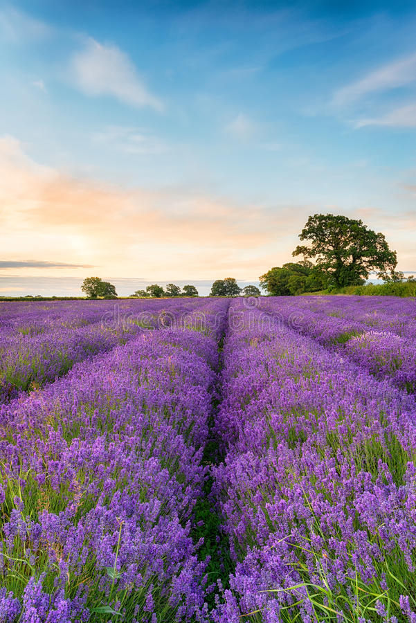 Dromerig Lavendelgebied royalty-vrije stock afbeelding