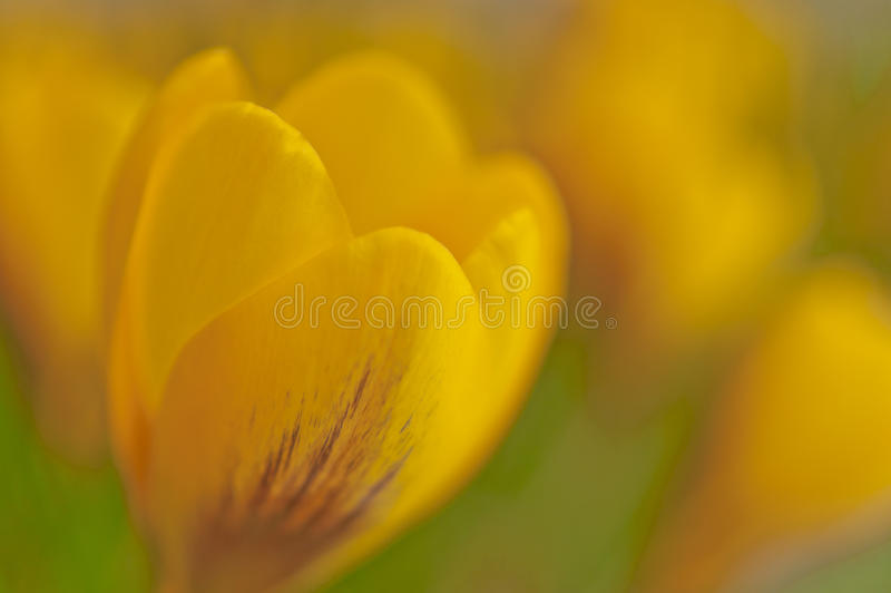 Dromerige gele krokus in de lentemacro stock foto