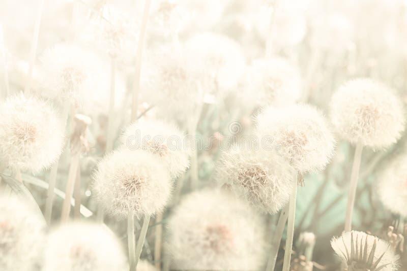 Dromerige paardebloemen blowball bloemen tegen zonsondergang Gestemd pastelkleur gouden Macro met zachte nadruk Gevoelige transpa royalty-vrije stock afbeeldingen