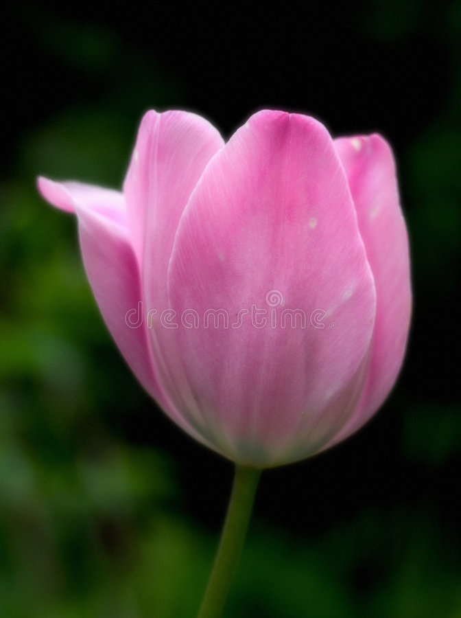 Download Dromerige tulp stock afbeelding. Afbeelding bestaande uit roze - 27809