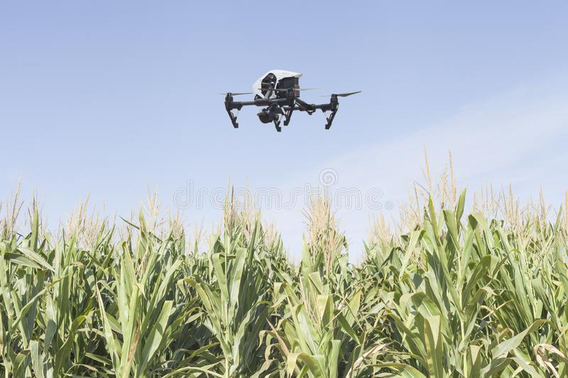 Drone on a corn field stock photography