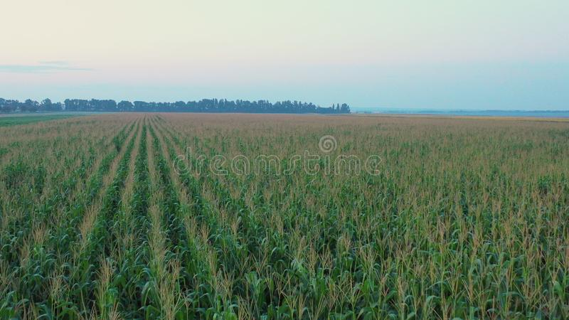 Drone flight over the corn field at sunrise. royalty free stock photos