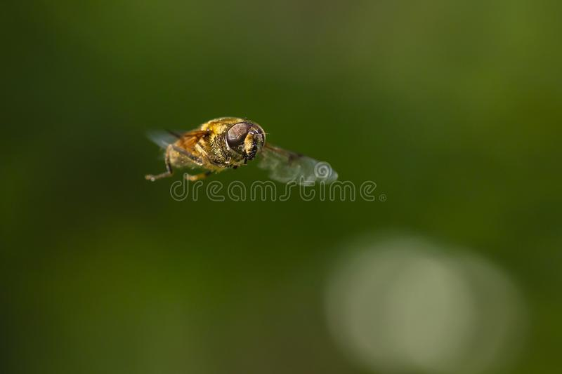 Drone fly Eristalis tenax insect in flight on a sunny day royalty free stock photos